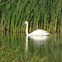 Лебедь на заливе :: Константин Ординарцев
