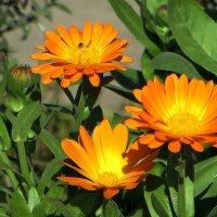 Цветы из детства :: Татьяна Смоляниченко