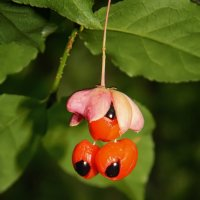 Бересклет ягодки... :: *MIRA* **