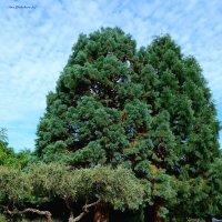 Секвойи в ботаническом саду :: Nina Yudicheva