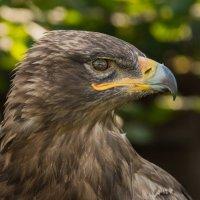 степной орел :: Лада