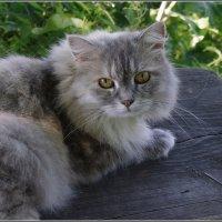 Кот кашинский повышенной лохматости... :: Николай Панов