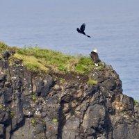 Вороны, атакующие белоголового орлана :: Сергей Рычков