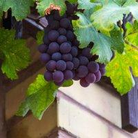 Виноград :: Надежда