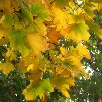 Клен в золотую осень :: Елена Семигина