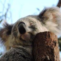 Мишки спят, коалы спят... :: Tatiana Belyatskaya