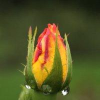 Бутон розы :: Анатолий Шумилин