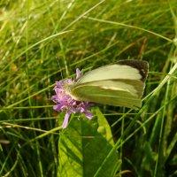 Бабочка :: Андрей Мышко