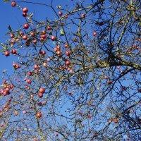 Ноябрьские яблоки :: Анна Воробьева