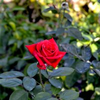 Хризантемы отцвели,но розы... :: Aлександр **
