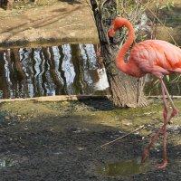 У фламинго оперенье вызывает восхищенье. :: Татьяна Помогалова