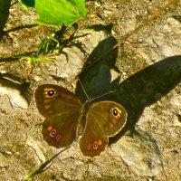 зловещая тень нежной бабочки :: Елена