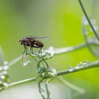 Про муху :: Александр Синдерёв
