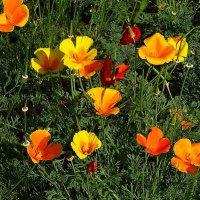 Солнечным сентябрьским днём в Ботаническом саду - Эшшольция :: Маргарита Батырева