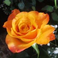 Томная роза... :: татьяна