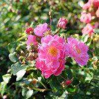 Санкт-Петербург. Сентябрьские розы возле Смольного. :: Лариса (Phinikia) Двойникова