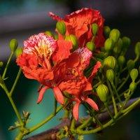 """Цветок дерева """"смерть  европейца"""" :: Oleg"""