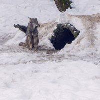 Волк :: Катарина Винниченко