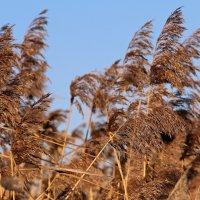 Тростник на ветру... :: Лара (АГАТА)