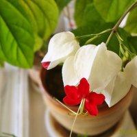 Клеродендрум Томсона цветет на окне :: Лидия (naum.lidiya)