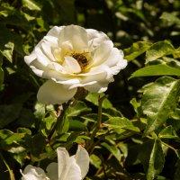 Пчелка :: Александра