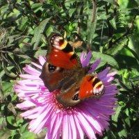 Бабочка :: Самохвалова Зинаида