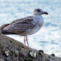 Seagull :: Sergey Sergaj