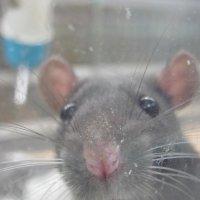 крыс :: Зинаида