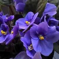 И снова цветут фиалки :: Елена Семигина