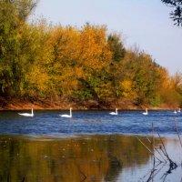 Стая лебедей на реке :: Татьяна Королёва