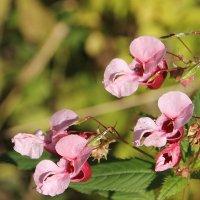 Осень в розовом цвете... :: Tatiana Markova