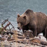 Медвежья семья :: Александр Поборчий