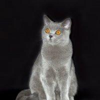 Голубая британская короткошерстная кошечка :: Светлана