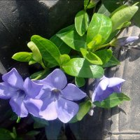 Небесная синева барвинка :: Нина Корешкова