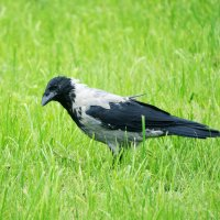 Осторожная птица :: Aнна Зарубина