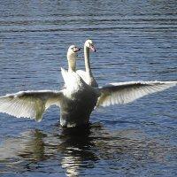 Лебеди на озере в парке :: Маргарита Батырева