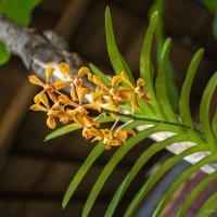 орхидея :: Екатерина Агаркова