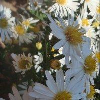 Белы, как снег, наши сентябринки :: Нина Корешкова
