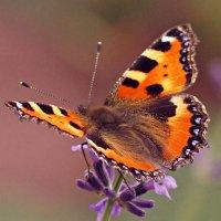 Лавандная бабочка. :: donat