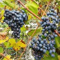 Осень, виноград :: Александр Бурилов