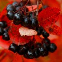 Осенние ягоды :: Любовь Потравных