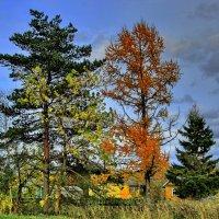 Сосна, ясень, лиственница, и ель позади.. :: Sergey Serebrykov
