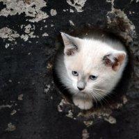 Полусиамский котенок :: Олег Шендерюк