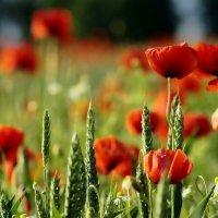 Маки - полевые красоты. :: donat