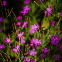 Цветочки-василёчки :: Inga Engel