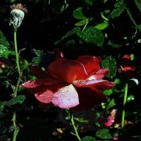 Утреня роза... :: Владимир Бровко