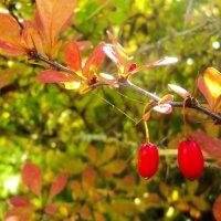 осенние ягодки :: Maryana Petrova