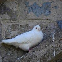 Белая голубка :: Natalia Harries