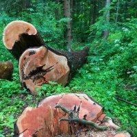 лес рубят,щепки не летят :: Ольга Давыдова