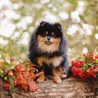 Осенний шпиц :: Катерина Терновая